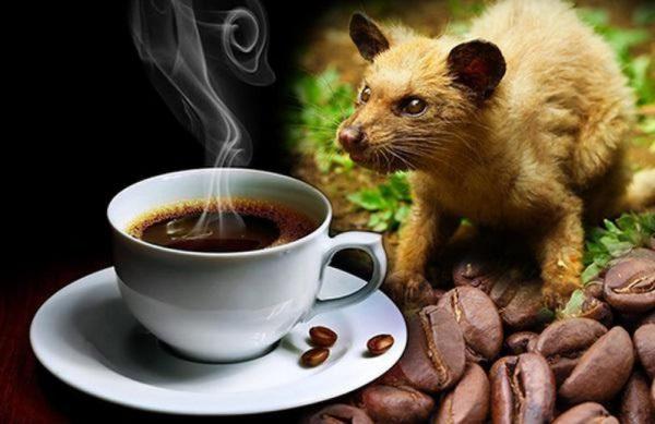 Có nên lựa chọn cà phê Chồn để uống hay không? ưu điểm của cafe này?