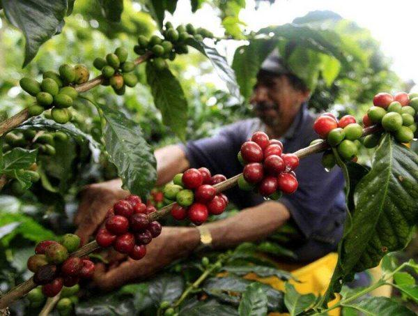 Khám phá quy trình làm ra ly cafe nguyên chất